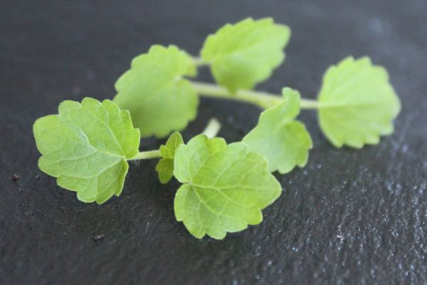 klein gekarteld blad met duidelijke nerven