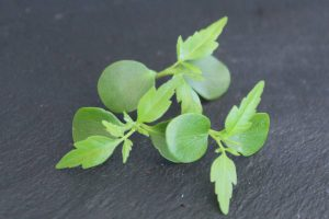 notencress