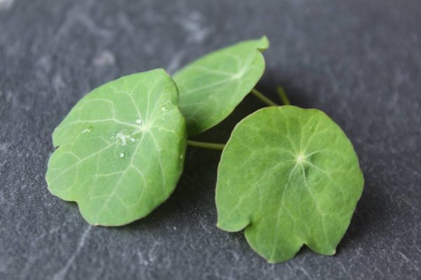 groen gekarteld blad met rood randje