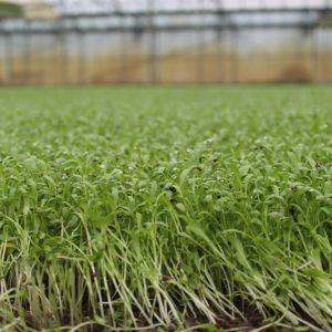 gegroeide tuinkers in volle grond in de serre