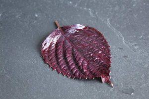 groot purper shiso blad